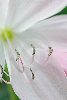 White Lillium Royalty Free Stock Photo - Image: 18795255