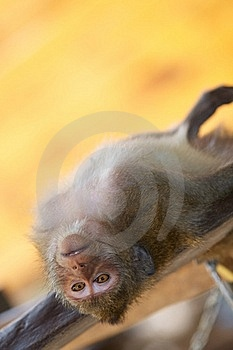 Monkey Relax Royalty Free Stock Images - Image: 18799449