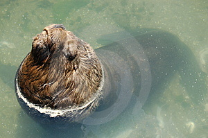 Large Fur Seal Royalty Free Stock Photos - Image: 1889638