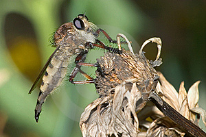 Robber Fly Royalty Free Stock Photography - Image: 18807887