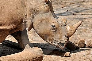 A Rhinoceros Royalty Free Stock Photo - Image: 18809565