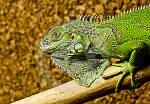 A Green Iguana Rests On The Tree Royalty Free Stock Photography - Image: 18814967