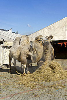 Camels Royalty Free Stock Photos - Image: 18824288