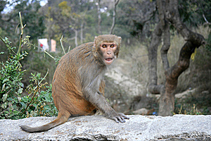 An Angry Monkey In Kathmandu Of Nepal. Royalty Free Stock Photo - Image: 18828055