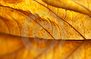 Backlit Dead Hydrangea Leaf Stock Photo - Image: 18829130