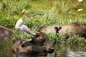 White Heron Sitting On Cattle Back Stock Images - Image: 18837004