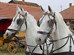 Two White Horses Royalty Free Stock Photos - Image: 18837188