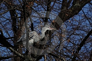 Grey Heron (Ardea Cinerea) Royalty Free Stock Photos - Image: 18851738