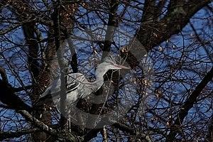 Grey Heron (Ardea Cinerea) Royalty Free Stock Photos - Image: 18851738