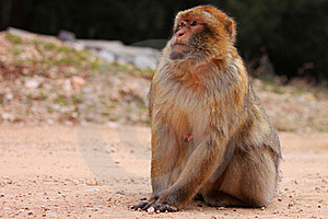 Macaque Portrait Royalty Free Stock Photos - Image: 18852838