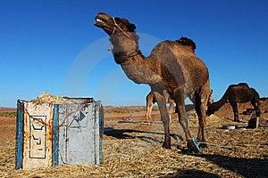 Camel In The Sahara Desert Stock Photo - Image: 18852860