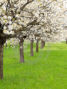 Blossoming Tree Royalty Free Stock Photography - Image: 18855567