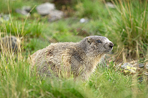 Marmot In The Alps Stock Photography - Image: 18866712