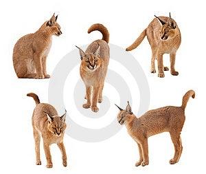 Caracal Katze Stockbilder - Bild: 18869344