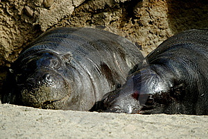 Loving Hippos Royalty Free Stock Photos - Image: 18870918
