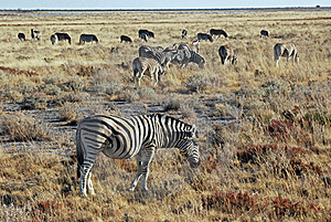 Group Of Plains Zebras In Dry Grass Landscapes - Etosha National Park Royalty Free Stock Images - Image: 18872379