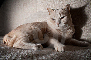 British Cat Stock Photo - Image: 18877630