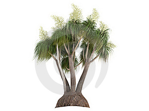 Ponytail Palm (Nolina Or Beauca Recurvata) Stock Photography - Image: 18878382