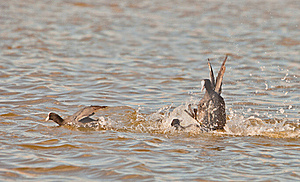 Fighting Coots Stock Photography - Image: 18881092