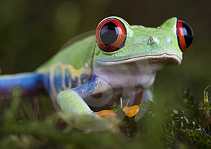 Gren frog Stock Photography