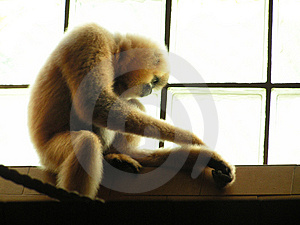 Sad Monkey Stock Photos - Image: 1895053