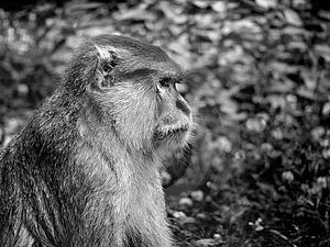 Sad Monkey Royalty Free Stock Images - Image: 1895109