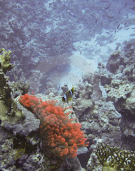 Anemone Clown Fish Royalty Free Stock Image - Image: 18918856