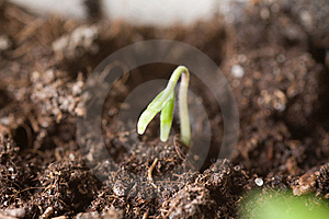 Young Sprout Emerging From The Ground Royalty Free Stock Photo - Image: 18920525