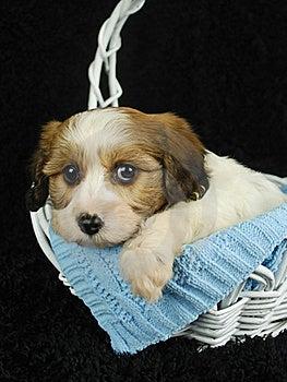 Cavachon Puppy Royalty Free Stock Image - Image: 18926646