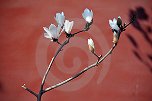 Magnolia Royalty Free Stock Images - Image: 18929349