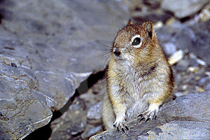 Golden Mantled Ground Squirrel Stock Image - Image: 18932221