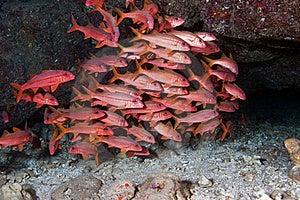 Goat Fish Royalty Free Stock Image - Image: 18934716