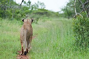 Lion On The Hunt Stock Photography - Image: 18940752