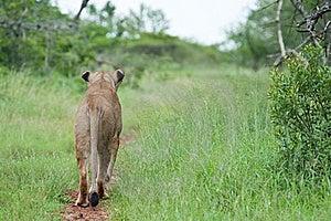 Leão Na Caça Fotografia de Stock - Imagem: 18940752