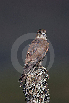 Merlin Stock Photo - Image: 18940820