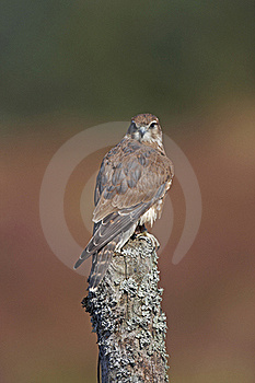 Merlin Royalty Free Stock Images - Image: 18940869