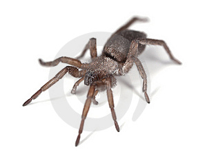 Ground Spider (Gnaphosidae) Royalty Free Stock Images - Image: 18941629