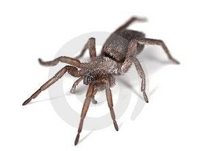 Ground Spider (Gnaphosidae) Royalty Free Stock Images - Image: 18941629