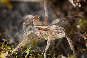 Young Wolf Spider Stock Photos - Image: 18941673