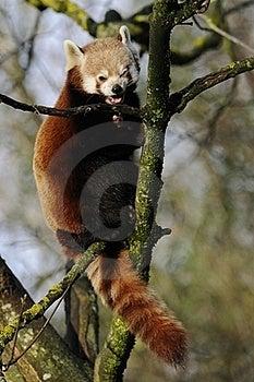 Climbing Red Panda Stock Images - Image: 18941734