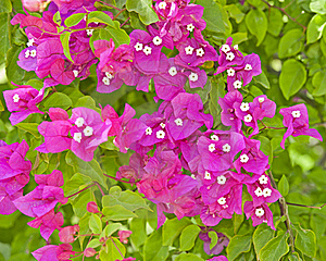 Bougainvillea Flowers On A Bush Royalty Free Stock Photography - Image: 18951197