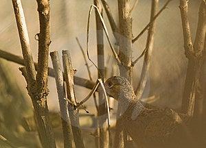Phasianus Colchicus Stock Photo - Image: 18952400