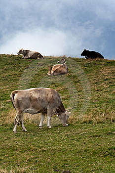 Grazing Cows Stock Image - Image: 18953871