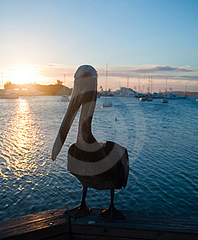 Pelican In The Marina At Sunset Stock Images - Image: 18959744