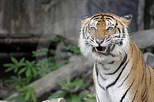 Bengal Tiger Royalty Free Stock Photo - Image: 18963125