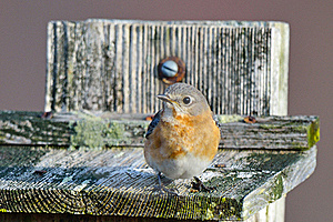 Eastern Bluebird Stock Image - Image: 18964831