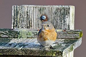 Eastern Bluebird Stock Image - Image: 18964831