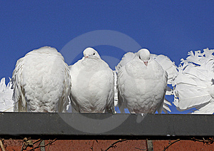 Indian Dove Stock Images - Image: 18971114
