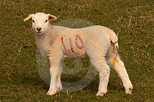 Lamb Standing In Field Stock Image - Image: 18971711