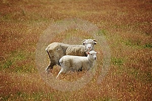 Sheep And Lamb Together In Meadow Stock Photo - Image: 18974770